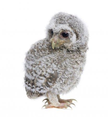 Baby Little Owl, 4 weeks old, Athene noctua, in fr...