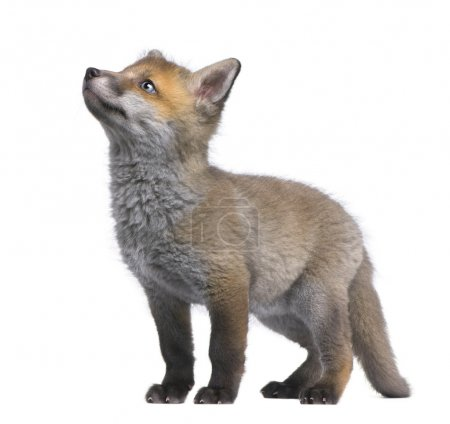 Photo pour Red fox cub looking up (6 Weeks old)- Vulpes vulpes in front of a white background - image libre de droit