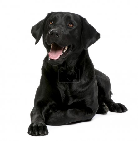 Photo for Black Labrador in front of a white background - Royalty Free Image