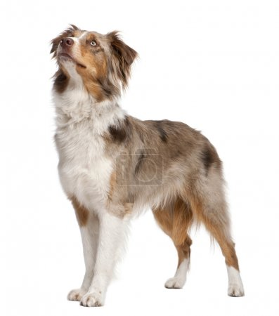 Photo for Australian shepherd looking up in front of a white background - Royalty Free Image