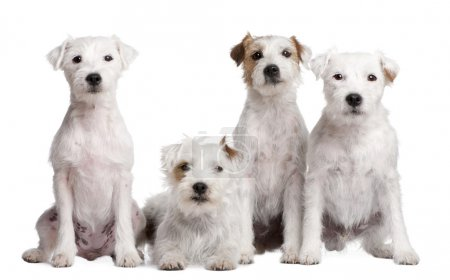 Group of 4 dogs : Parson Russell Terrier