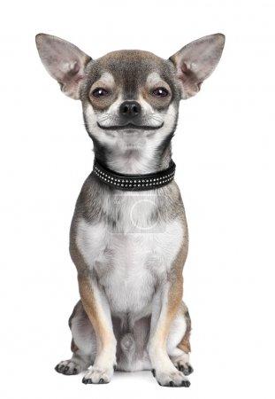 Dog ( chihuahua ) looking at the camera, smiling