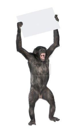 Photo pour Singe tenant une bannière vide et criant, (race entre le chimpanzé et le bonobo) (20 ans) devant un fond blanc - image libre de droit