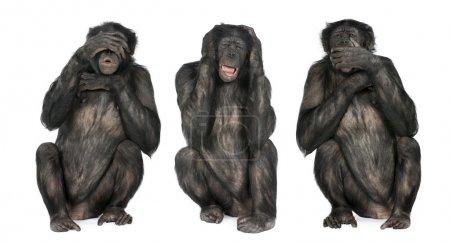 Foto de Three Wise Monkeys : Chimpanzee - Simia troglodytes (20 years old) in front of a white background - Imagen libre de derechos