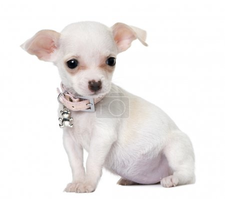 Cute chihuahua puppy (3 month old)