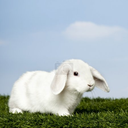 White Rabbit on grass against blue sky