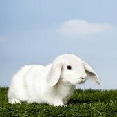 lapin blanc sur herbe contre le ciel bleu