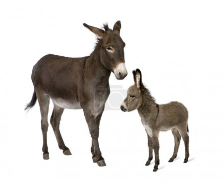 Donkey, 4 years old, and his foal, 2 months old, in front of whi
