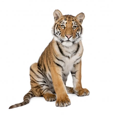 Portrait of Bengal Tiger, 1 year old, sitting, studio shot, Pant