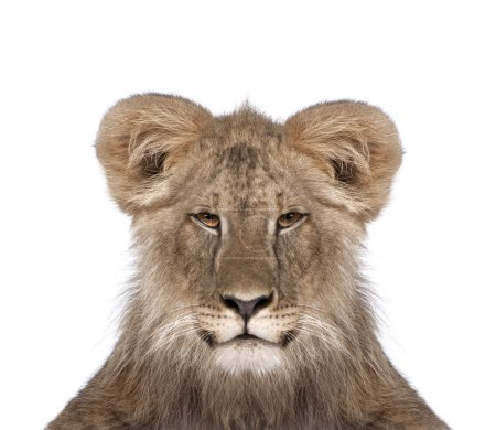 Portrait of immature lion in front of white background, studio s