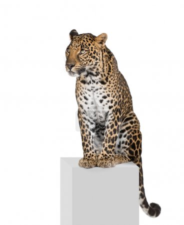 Leopard, Panthera pardus, sitting on pedestal in front of white
