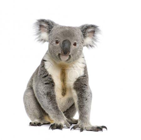 Portrait of male Koala bear, Phascolarctos cinereus, 3 years old