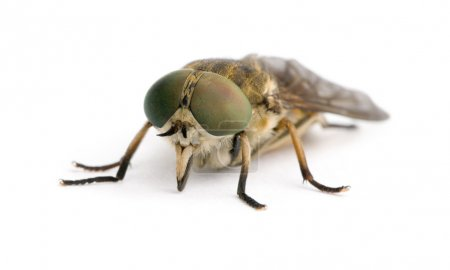 Pale giant horse-fly, Tabanus bovinus, in front of white background, studio shot