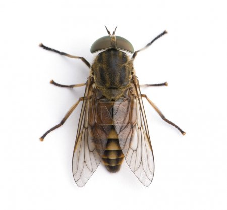 High angle view of pale giant horse fly, Tabanus bovinus, against white background, studio shot