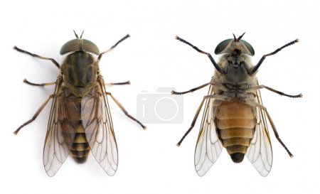 High angle view of pale giant horse fly, Tabanus bovinus,
