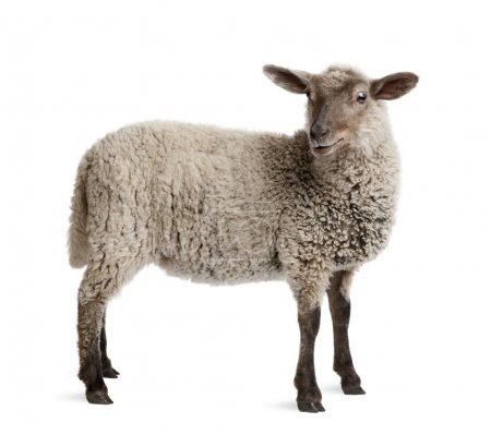 Lamb, 5 months old, standing in front of white background, studi
