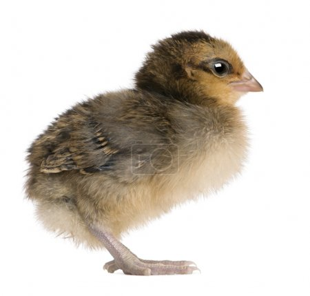 Chick, 3 days old, standing in front of white background