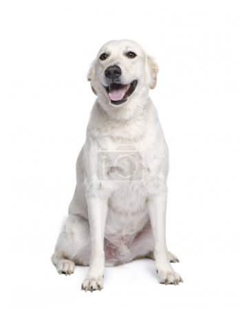 Mixed breed dog between Golden Retriever and Husky, 6 years old