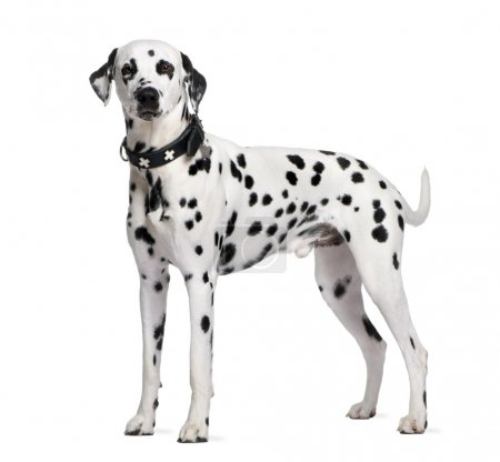 Dalmatian, 2 years old, standing in front of white...
