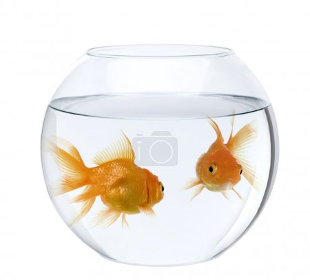 Photo for Two goldfish in fish bowl, in front of white background - Royalty Free Image