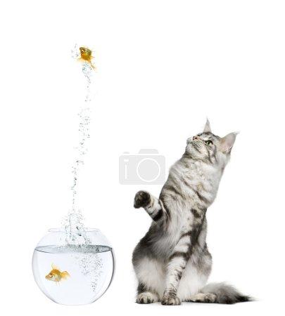 Photo pour Chat regardant poisson rouge sautant hors bocal sur fond blanc - image libre de droit