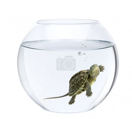 Small turtle swimming in fish bowl, in front of white background