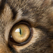 Close-up of Maine Coon's eye, 7 months old