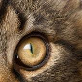 gros plan sur le œil de la coon maine, âgés de 7 mois