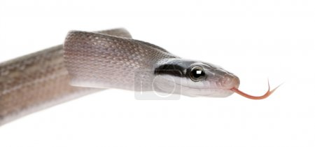 Young Beauty rat snake, Orthiophis taeniura ridleyi, in front of white background