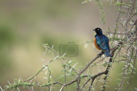 Starling on branch, Serengeti National Park, Serengeti, Tanzania