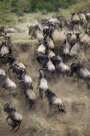 Wildebeest running in the Serengeti, Tanzania, Africa