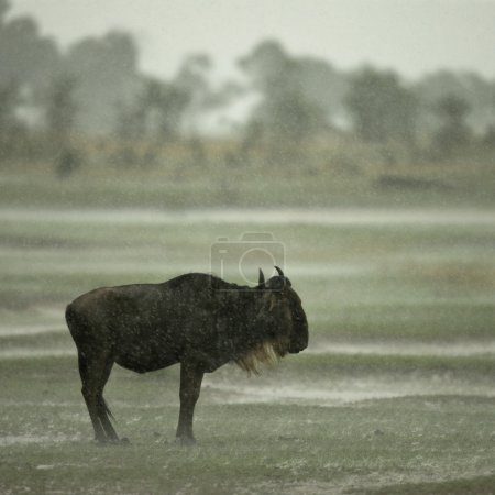 Photo for Wildebeest standing in the rain in the Serengeti, Tanzania, Africa - Royalty Free Image