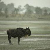 Wildebeest standing in the rain in the Serengeti, Tanzania, Afri