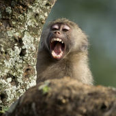 Close-up of macaque yawning, Tanzania, Africa