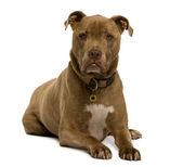 Kříženec, pes, 12 let, před bílým pozadím, studio zastřelil