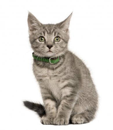 Kitten European cat, 3 months old, sitting in front of white background