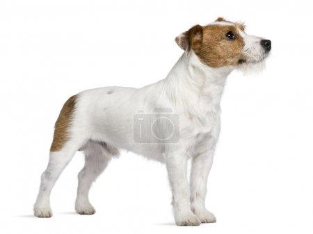 Photo pour Jack Russell Terrier, 15 mois, debout devant fond blanc - image libre de droit
