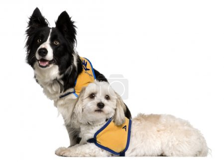 Coton de Tulear and a Border Collie sitting in front of white background