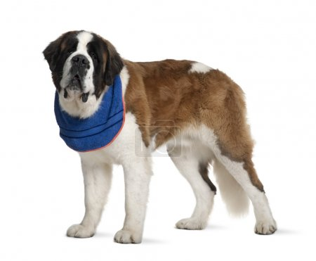 Saint Bernard standing in front of white background, studio shot