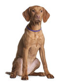 Vizsla dog puppy, 4 months old, sitting in front of white background