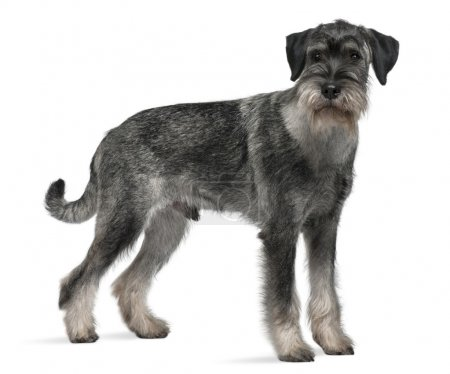 Standard Schnauzer, 9 months old, standing in front of white background