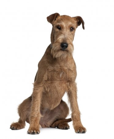 Irish Terrier, 2 years old, sitting in front of white background