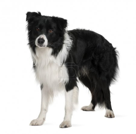 Border collie, 3 years old, standing in front of white background