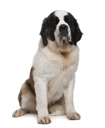 Saint Bernard, 15 months old, sitting in front of ...
