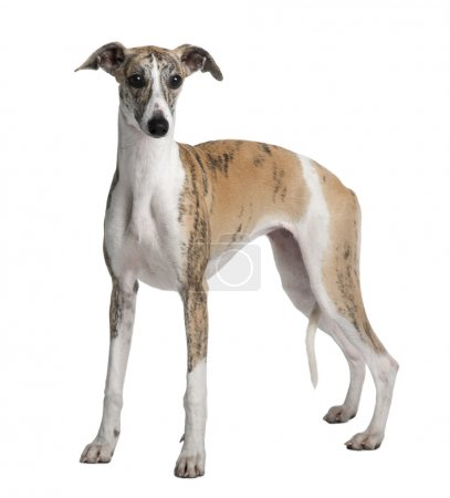 Young Whippet, 8 months old, standing in front of white backgrou