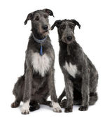Two Irish Wolfhounds sitting in front of white background