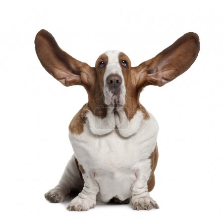 Photo for Basset Hound with ears up, 2 years old, sitting in front of white background - Royalty Free Image