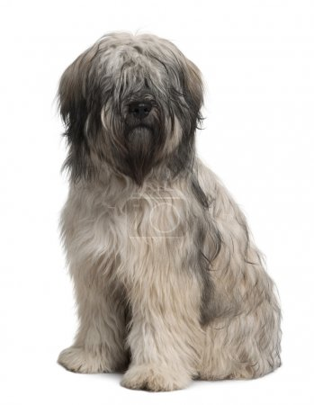 Catalan Sheepdog, 10 months old, sitting in front of white background