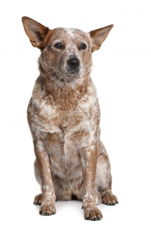 Australian Cattle Dog, 2 Years Old, sitting in front of white background
