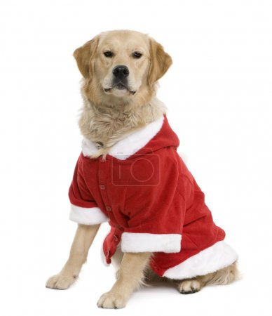 Golden retriever in Santa coat, 11 months old, sitting in front of white background